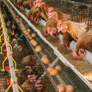 Poultry- Egg Production Business